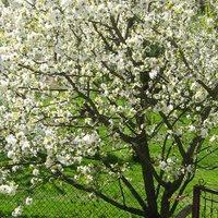 как ухаживать за черешней весной