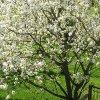 Уход за черешней весной: опрыскивание, обработка от болезней и вредителей и пр.