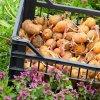 Выращивание картофеля: как вырастить хороший урожай, технология и агротехника.
