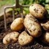 Уборка картофеля и подготовка к новому сезону: что сажать после, сидераты и пр.