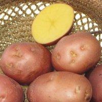 картофель сорта фото отзывы