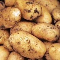 сорт картофеля невский характеристика фото