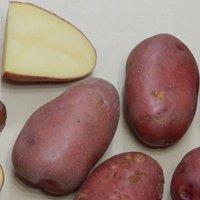 картофель импала описание сорта отзывы фото