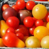 новые сорта помидоров для теплиц 2016