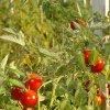 Лучшие сорта томатов на 2017 год для открытого грунта: самые урожайные и новые.