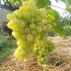 Новые сорта винограда 2016: лучшие новинки и перспективные сорта на сезон 2017.