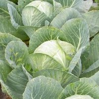какие овощи можно сажать под зиму