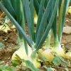 Посадка лука весной: как правильно сажать лук в открытый грунт.