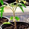 Болезни рассады томатов: обработка и лечение рассады помидор.