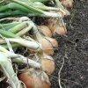 Как вырастить крупный лук: секреты выращивания репчатого лука в открытом грунте.