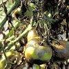 Болезни помидор: лечение болезни томатов в теплице и открытом грунте.