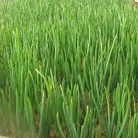 Лук севок на зелень посадка и уход в открытом грунте