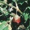 Болезни баклажан и борьба с ними: болезни листьев, плодов, корней и пр.