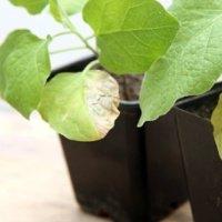 болезни перца на листьях рассады чем лечить