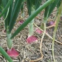 Лук севок Кармен: описание сорта, отзывы о выращивании этого красного лука.