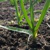 Посадка ярового чеснока: когда и как правильно сажать чеснок весной.