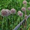Семена чеснока из стрелок: как вырастить чеснок из бульбочек.
