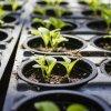 Что можно сажать в феврале на рассаду: цветы, перцы, помидоры, баклажаны и пр.