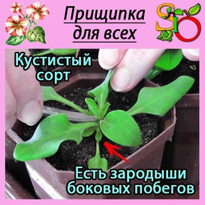 какую рассаду цветов нужно прищипывать